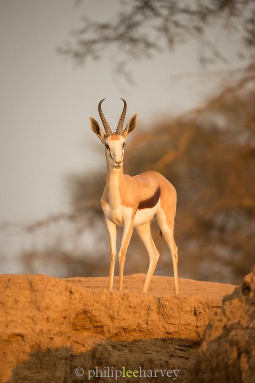 Springbok in the desert, Skeleton Coast, Northern Namibia, Southern Africa