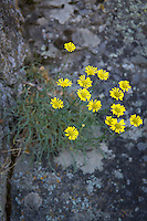 This small daisy is found at lower elevations in the drier, rocky parts of Central and Eastern Washington and Oregon. It is closely related to other similar aster species found in the same region but at higher elevations. This one was found with many others growing from a crack in a basalt canyon rock wall outside of Naches, Washington just west of Yakima.