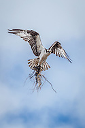 An osprey bringing material to its nest at Sesuit Harbor, in East Dennis.
