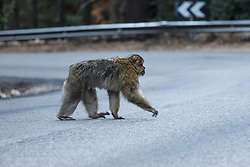 Barbary macaque crossing road (Macaca sylvanus), Middle Atlas Mountains, Morocco