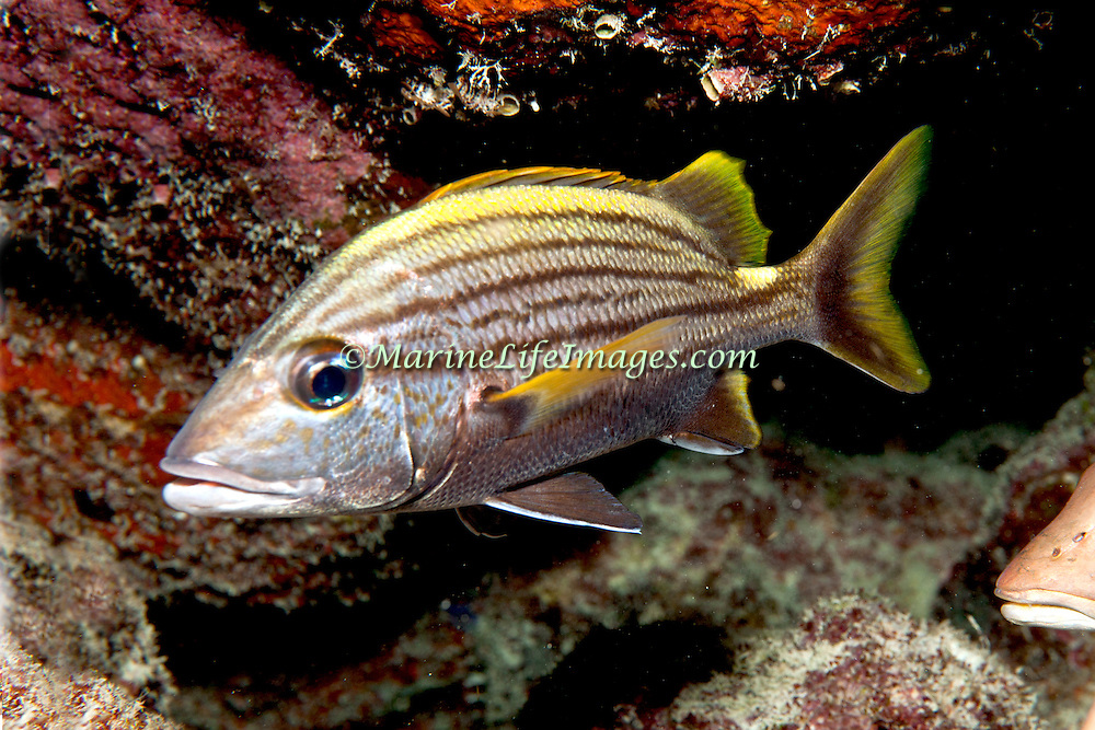 Spanish Grunt inhabit reefs in Tropical West Atlantic; picture taken Key Largo, FL.