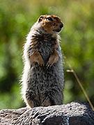 Arctic ground squirrel (Urocitellus parryii). Eielson Visitor Center, Denali National Park, Alaska, USA.