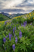 Wildflowers blooming in Utah's Albion Basin, which sits atop Little Cottonwood Canyon in the Wasatch Mountains. Landscape photography at its finest.