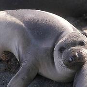 Northern Elephant Seal, (Mirounga angustirostris)  Weaner resting. San Benito Island. Mexico.