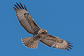 Hawk, Red-Tailed / Buteo jamaicensis