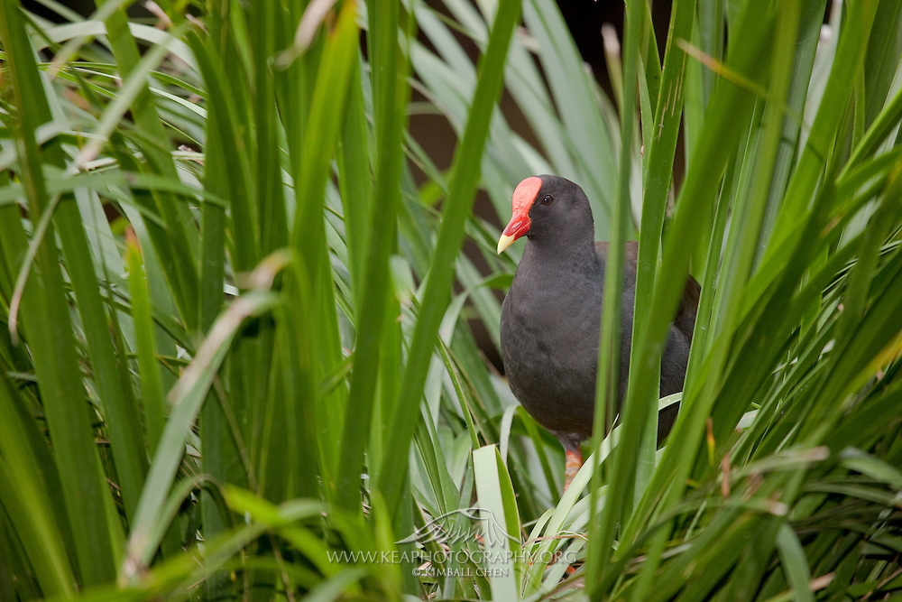 The Dusky Moorhen is found in wetland habitats, and is a bird of the rail family.