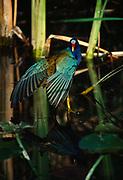 American Purple Gallinule, Porphyrio martinica, Shark Valley, Everglades National Park, Florida.