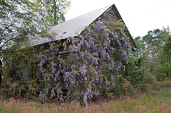 Overgrown Wisteria on a deserted house