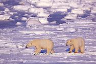 01874-07219 Polar Bears (Ursus maritimus) on the ice of Hudson Bay  Churchill MB