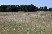 Grasses blow in the wind on a skylark meadow on Wimbledon Common, London SW19