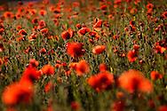 France, Languedoc Roussillon, Lozère (48), Cevennes,  fleurs de Coquelicot, N.L.: Papaver rhoeas, (Papavéracées)