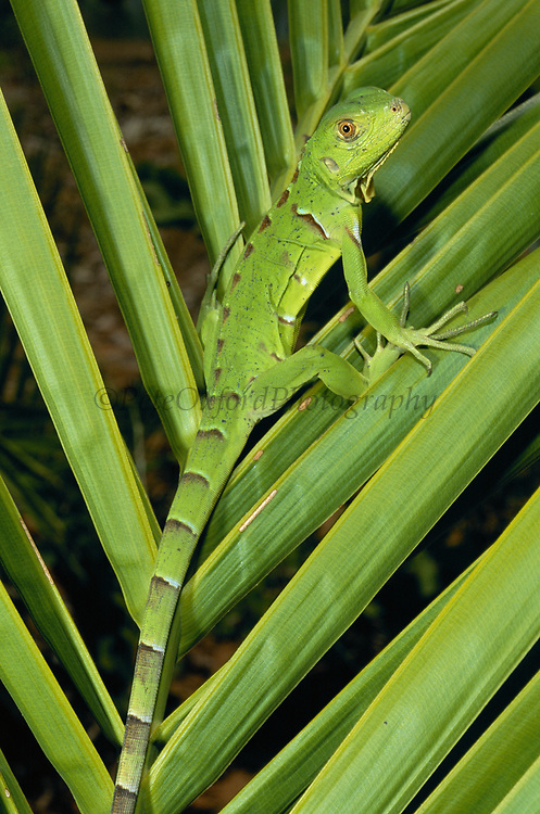 Green Iguana<br />Iguana iguana<br />Cerrado Habitat.  Piaui State.   BRAZIL   South America<br />Range: Central & South America