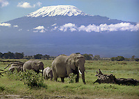 Elephants seen in the Amboselli National Park,Kenya. Mount Kilimanjaro is seen in the background.<br /> Photographed by Terry Fincher