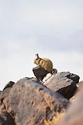 Viscacha, Salar de Tara, Atacama Desert. Chile, South America