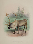 mountain reindeer (Rangifer tarandus tarandus), also called the Norwegian reindeer, northern reindeer, Common reindeer or mountain caribou [Here as Scandinavian Reindeer] from the book ' The deer of all lands : a history of the family Cervidae, living and extinct ' by Richard Lydekker, Published in London by Ward 1898