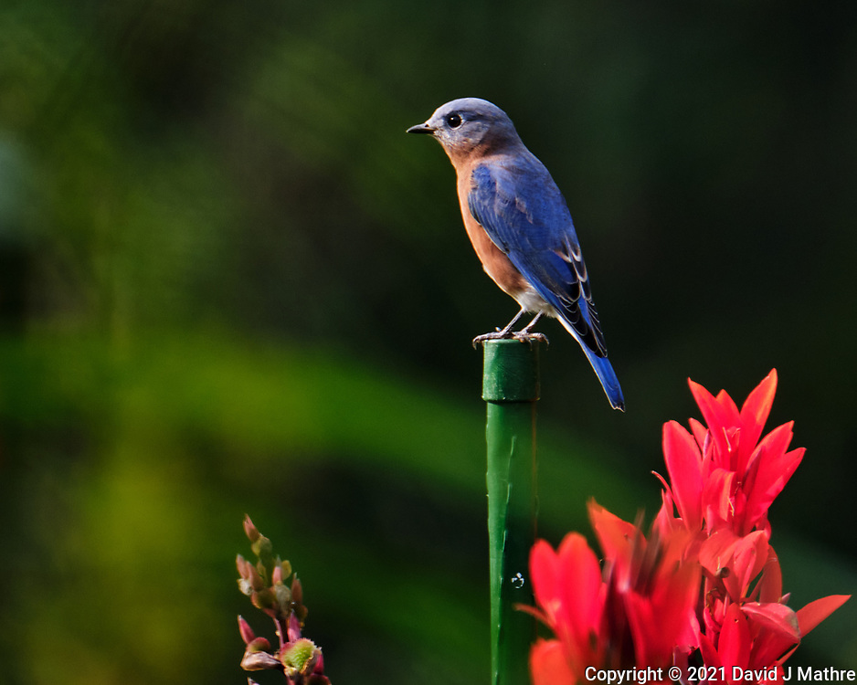 Eastern Bluebird. Image taken with a Fuji X-T4 camera and 100-400 mm OIS lens.