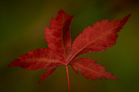 Spring Maple Leaf. Image taken with a Nikon D3x and 105 mm f/2.8 VR Macro with a TC-E 20 III  (ISO 100, 210 mm, f/11, 1/200 sec). Raw image processed with Capture One Pro, Focus Magic, and converted to jpg/sRGB with Photoshop CS5.