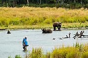 A fly fisherman keeps an eye on two sub-adult Brown Bears in the lower Brooks River at in Katmai National Park and Preserve September 15, 2019 near King Salmon, Alaska. The park spans the worlds largest salmon run with nearly 62 million salmon migrating through the streams which feeds some of the largest bears in the world.
