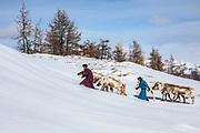 Tsaatan reindeer herders leading their reindeer (Rangifer tarandus) up a snowy hill in the mountains, Khovsgol Province, Mongolia