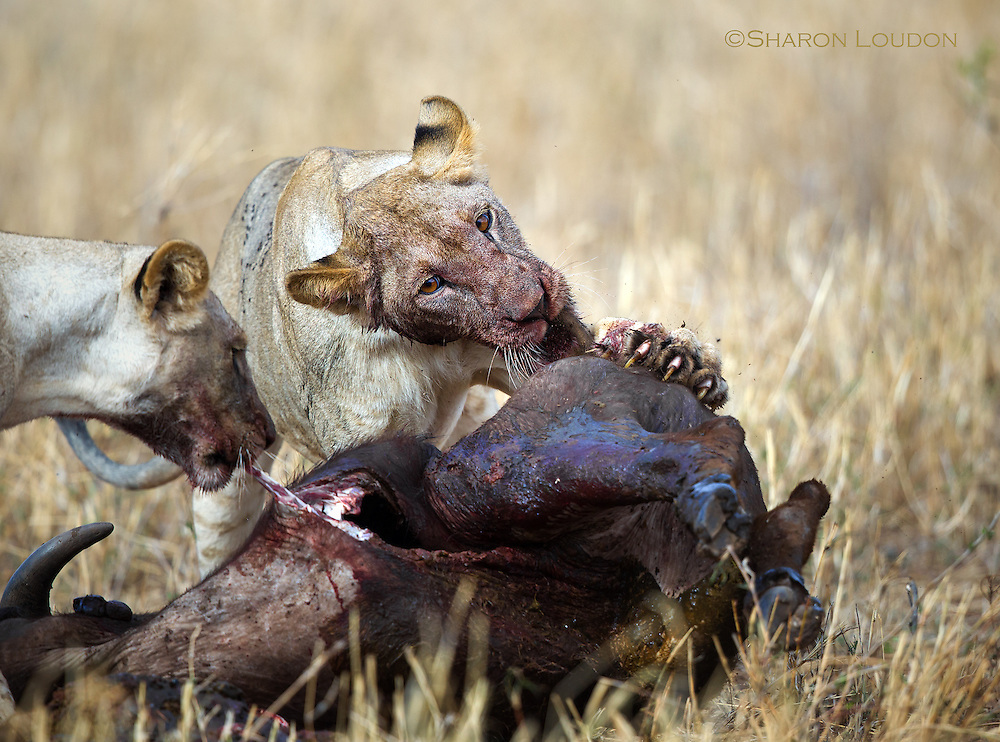 Lionesses feed together, Tarangire National Park, Tanzania