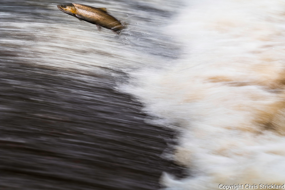 Selkirk, Scottish Borders, UK. 17th October 2017. An Atlantic Salmon (Salmo salar) leaps upstream over a cauld on the Ettrick Water. A tributary of the River Tweed the Ettrick is the second-fastest rising river in Scotland.