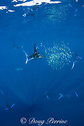 striped marlin, Kajikia audax (formerly Tetrapturus audax ), feeding on baitball of sardines, Sardinops sagax, off Baja California, Mexico ( Eastern Pacific Ocean )