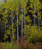 Simple elegance of Aspen trees are shown against the dark woods of the Northern Black Hills in Autumn.