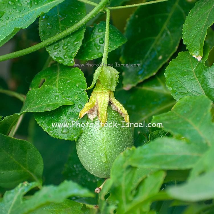 Fruit of the Passiflora (Passion Fruit) vine emerges from a blossom