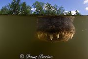 snout of approaching American alligator ( Alligator mississippiensis ), Big Cypress National Preserve, Florida, U.S.A. ( North America - freshwater )