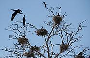 Kąty Rybackie. Rezerwat kormoranów