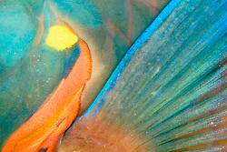 pectoral fin of stoplight parrotfish, Sparisoma viride, terminal phase, Towanda, City of Washington, wreck at night, Key Largo National Marine Sanctuary, Florida, Caribbean, Atlantic Ocean