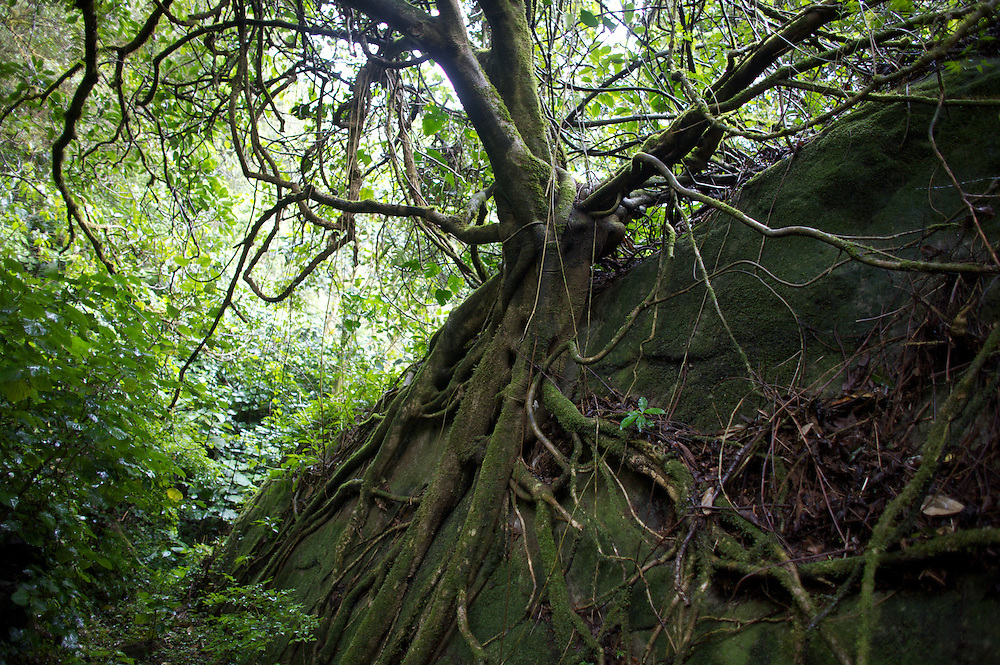 A large tree has grown around a boulder along the Ngobe Indian trail in the Cloud Forest near Boquete, Panama.  The trail is still used by the indigenous Panamanians to get from the province of Bocas del Toro to Boquete.