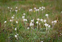 Mountain everlasting. Antennaria dioica