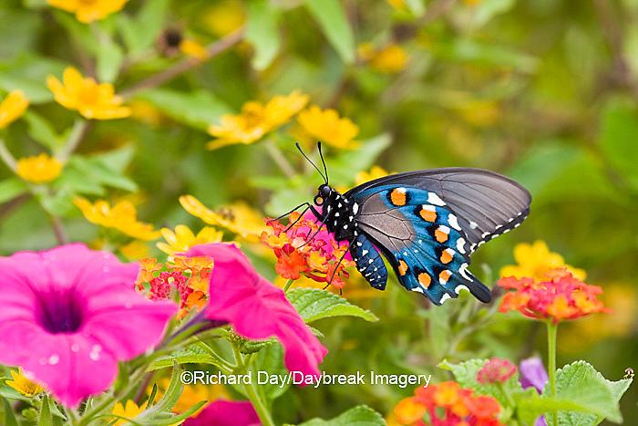 03004-00904 Pipevine Swallowtail (Battus philenor) on Red Spread Lantana (Lantana camara) in butterfly garden, Marion Co.  IL
