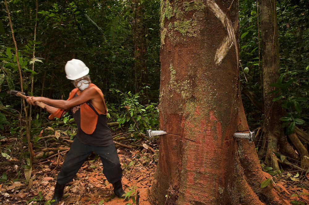 Sustainable Logging Operation using steel pegs for directional felling<br /> Iwokrama Forest Reserve<br /> GUYANA<br /> South America