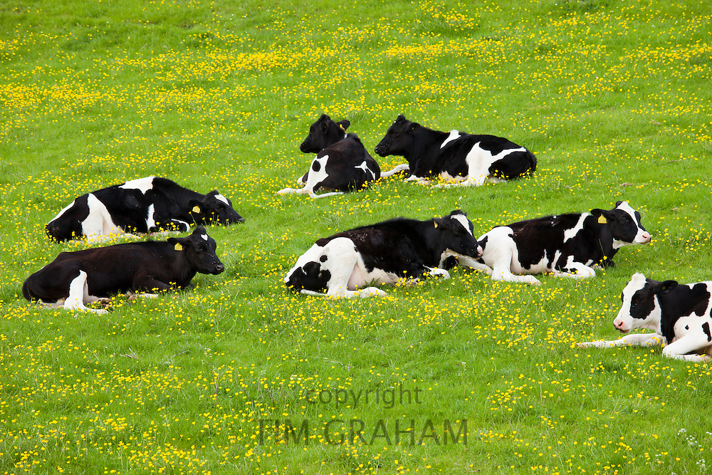Young Fresian cattle heffers in buttercup meadow at Swinbrook in the Cotswolds, Oxfordshire, UK
