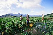 Harvesting taro, Kauai, Hawaii