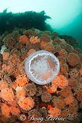 moon jellyfish or sea jelly, Aurelia auritum, swims past giant plumose anemones, Metridium farcimen, Eaglek Bay, Prince William Sound, Alaska, U.S.A.