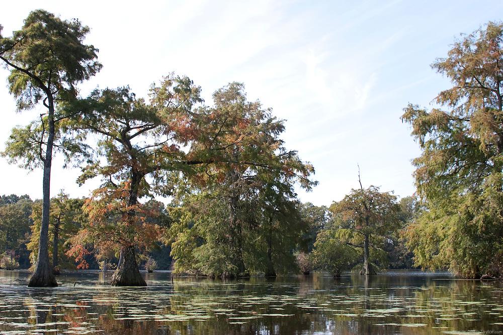 Bald Cypress on Trussum pond, Delaware.