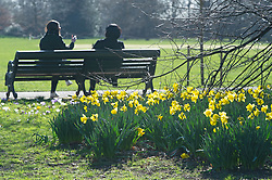 © Licensed to London News Pictures 26/02/2021.        Greenwich, UK. Spring daffodils in the park. People get out of their homes from a third national Coronavirus lockdown to enjoy some bright sunny weather in Greenwich Park, London. Photo credit:Grant Falvey/LNP
