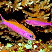 Magenta Slender Anthis inhabit reefs, often in large schools. Picture taken Fiji, 2011.
