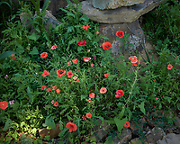 Bed of Poppies and other Wildflowers. Image taken with a Leica CL camera and 18 mm f/2.8 lens