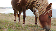A Shetland Pony at Penhale Sands, Special Area of Conservation (SAC), as part of a Conservation Grazing project.