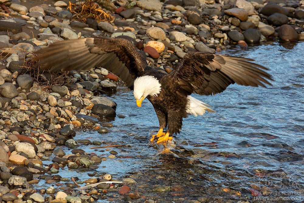 An adult bald eagle (Haliaeetus leucocephalus) lands on a spawned out chum salmon in the Nooksack River near Deming, Washington, to claim it as its meal.