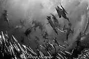 dozens of Cape gannets, Sula capensis, plunge into a baitball of sardines or pilchards, Sardinops sagax, Transkei, South Africa ( Indian Ocean )