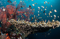 Damselfishes feed in the current above a healthy table coral.<br /> <br /> Shot in Indonesia