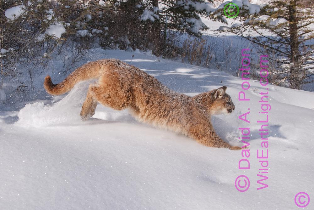 Young mountain lion bounding  in fresh snow across mountain meadow, © David A. Ponton