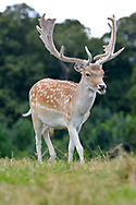 Fallow Deer - Dama dama - male