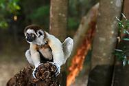 Larvensifaka (Propithecus verreauxi), Berenty, Madagaskar<br /> <br /> A subadult male Verreaux's sifaka (Propithecus verreauxi), Berenty, Madagascar