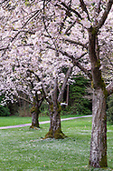 Spring Cherry blossoms at Stanley Park in Vancouver, British Columbia, Canada